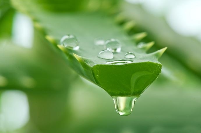 Magic-in-the-Garden-Five-Plants-with-Medicinal-Properties-aloe-vera.jpg