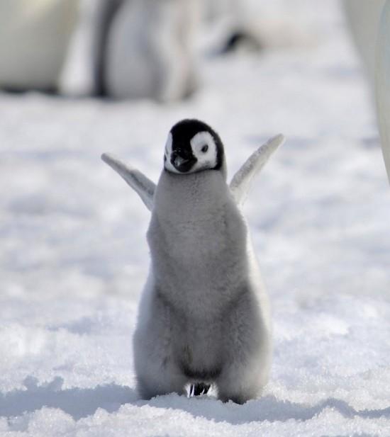 cute-baby-penguin-8.jpg