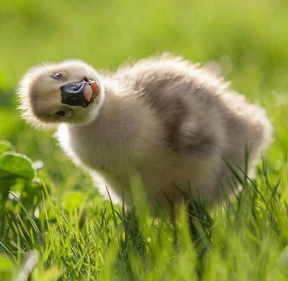 cute-duckling-ducks-animals-pictures-pics.jpg