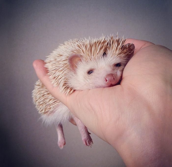 cute-hedgehogs-311__700.jpg